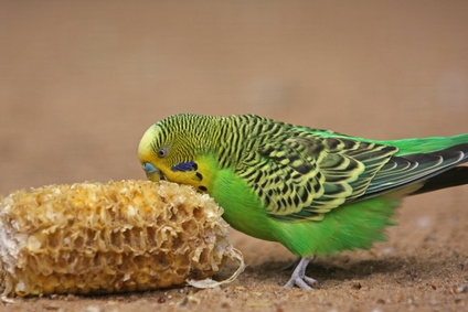 5 budgie tips