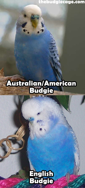 Australian Vs English Budgies