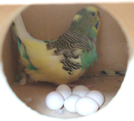 Budgie Breeding - parakeet and budgie breeding information