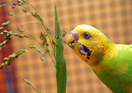 Budgie Eating Millet
