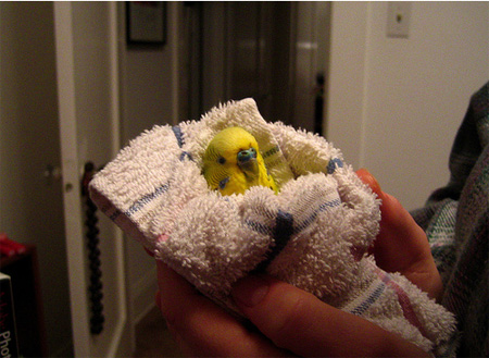 Budgie Illness