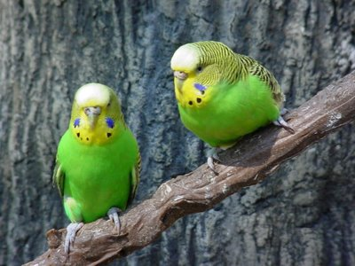 Budgie Lifespan