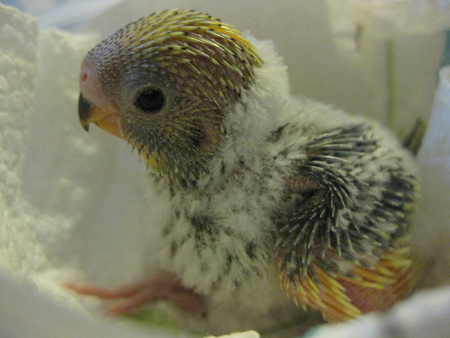 Baby Budgie
