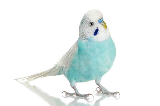 Choosing And Caring For Your New Budgie